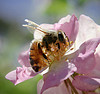 bee by aussiegall