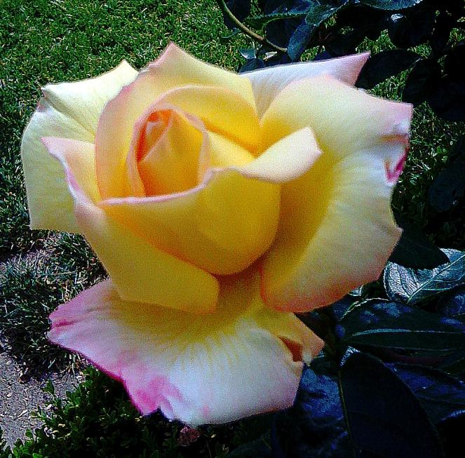 dew speckled rose