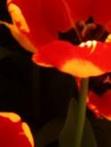 poppy(2)