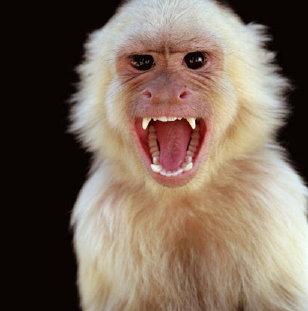 angry-monkey-7399791