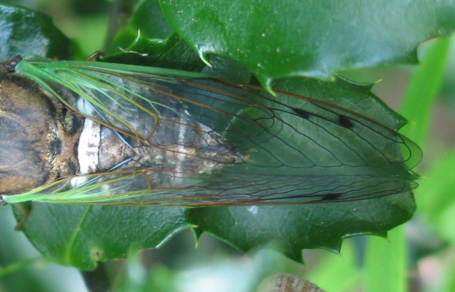 cicada wings2