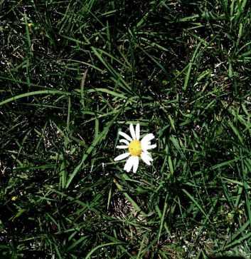 lone daisy