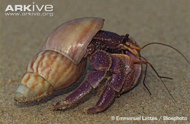 Common-hermit-crab-on-sandy-beach