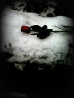 fade rose