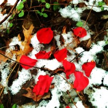 petals in the snow