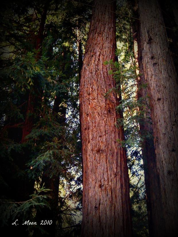 spotlight redwoods