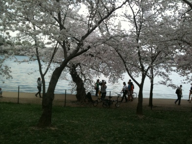 cherry blossoms 039