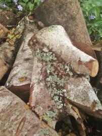 birch decay