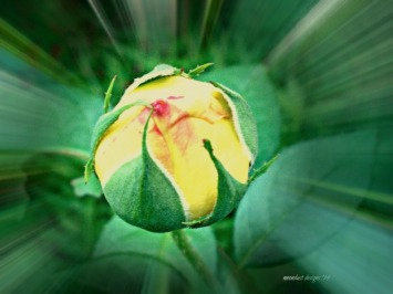 rose budding