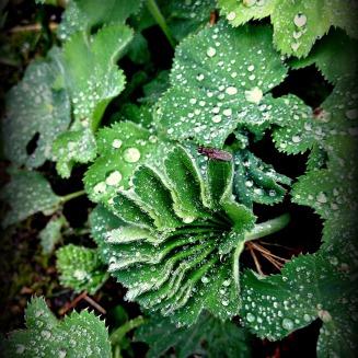 plant dew