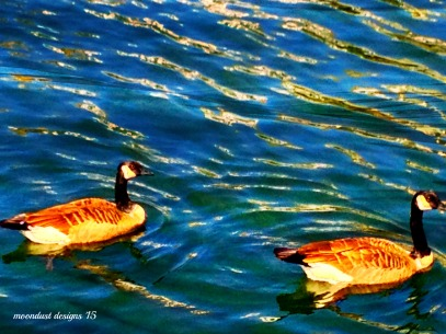 baltimore geese