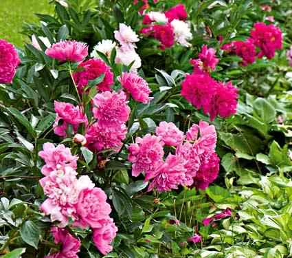 peony wild flower farm