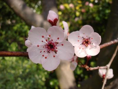 plum fllowers
