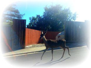 deer in the road