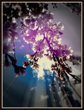 cherry sun