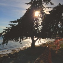 coastal pine