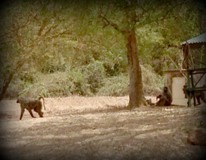 babboons