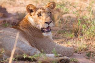 lioness by J. Pipes