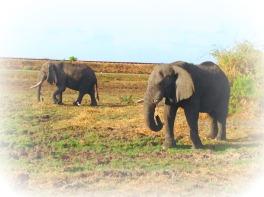 Old elephants