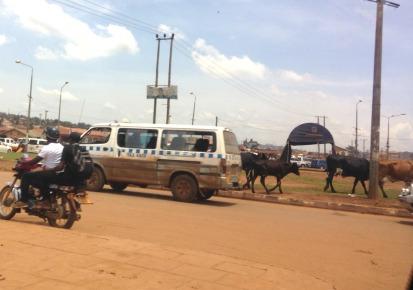 cattle drive kampala