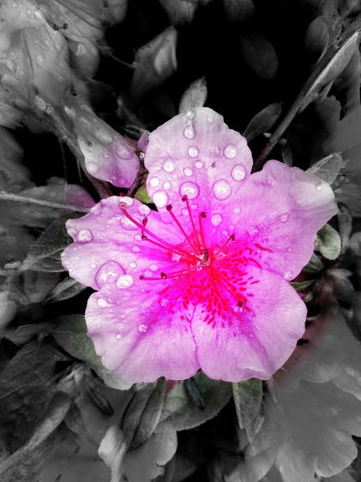 bw and pink azalea